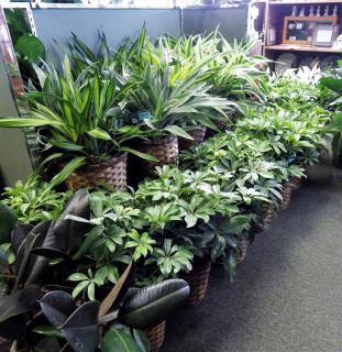 Assorted Green Tropical Plants (25% OFF SALE)