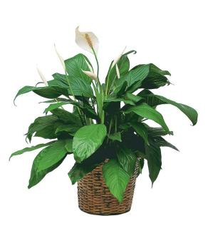 Simply Elegant Spathiphyllum (Medium)