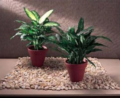Indoor Green Plants