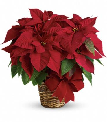Red Poinsettia SM-MD